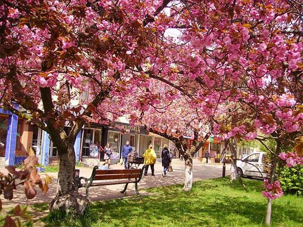 Цветение сакуры. Ужгород-Мукачево. Выезд из Могилева 27 апреля 2018